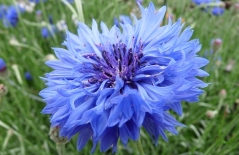 Derby Day - Blue Cornflower