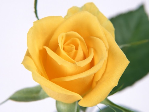 Melbourne Cup Day - Yellow Rose