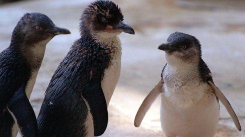 Fairy Penguins at Port Phillip