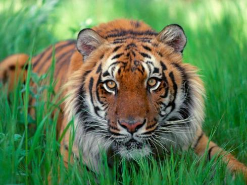 Sumatran Tiger - Print Trend?