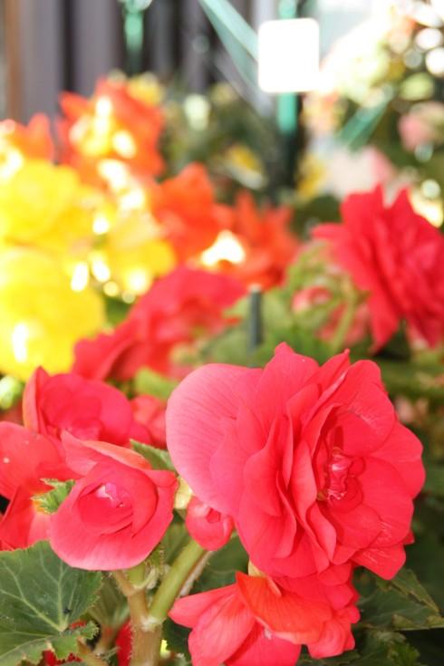 Ballarat's Famous Begonias