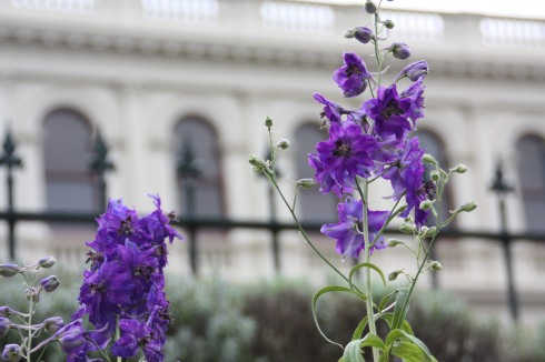Purple Delphinium in Ballarat